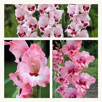 10 Humphreys Garden/® Gladioli Plumtart Corms Bulbs.Rich warm Purple flowers