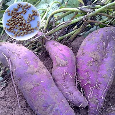 WskLinft100Pcs Purple Sweet Potato Seeds Nutrition Delicious Vegetable Bonsai Plants for Indoor and Outdoor All Seeds are Heirloom, 100% Non-GMO! Purple Sweet Potato Seeds : Garden & Outdoor