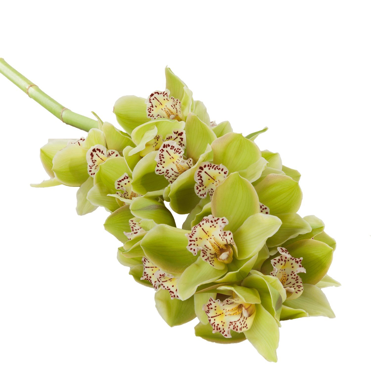 Cymbidium Stems Large blooms | Green - 4 Stem Count