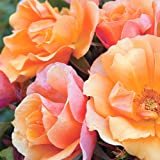 Tequila Rose Bush | Reblooming Orange Shrub Rose | Low Maintenance Easy To Grow | 4 Inch Container Potted