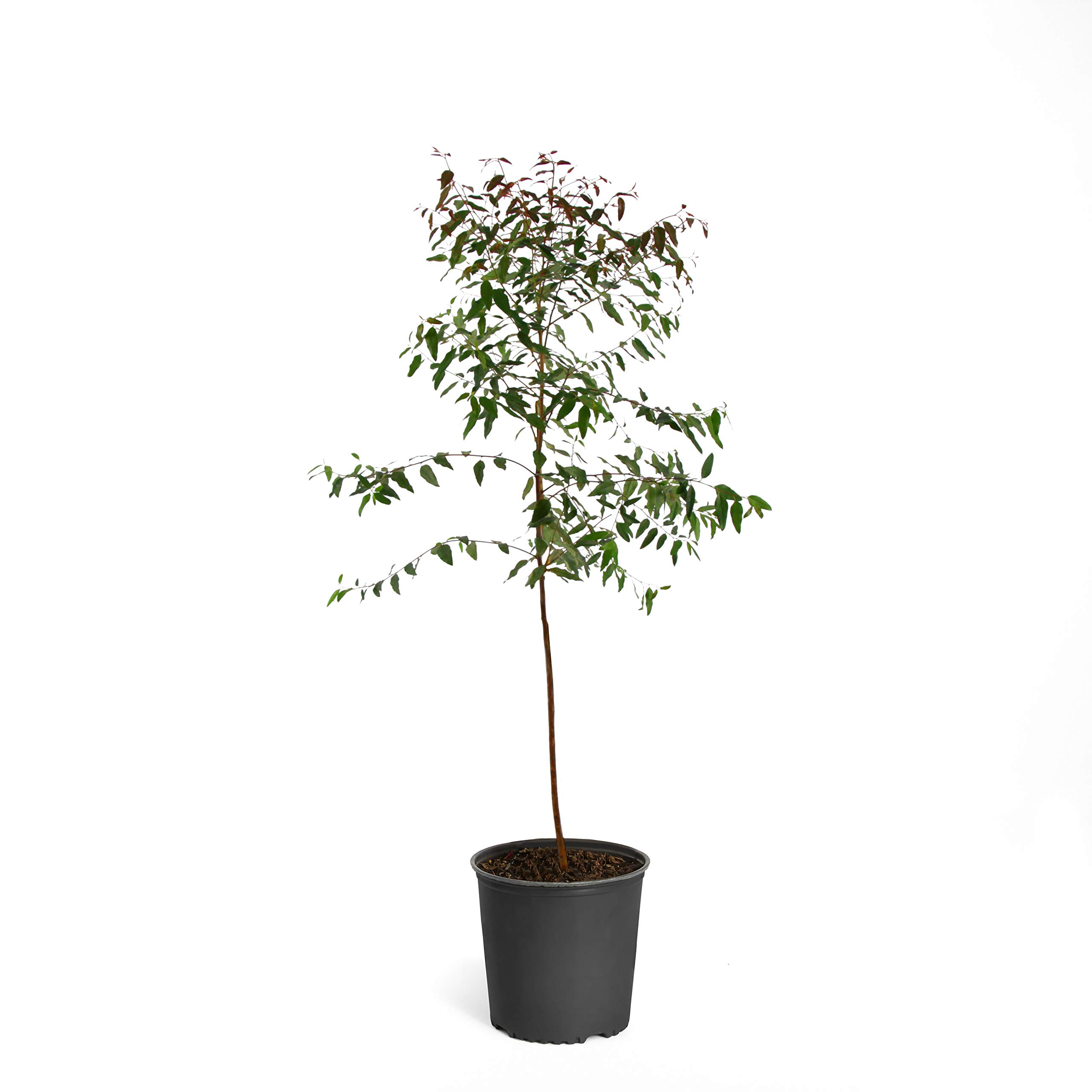 Rainbow Eucalyptus - 2-3 ft. | No Shipping to AZ