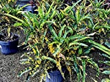 PlantVine Codiaeum variegatum 'Eleanor Roosevelt', Croton - Large - 8-10 Inch Pot (3 Gallon), Live Indoor Plant - 4 Pack