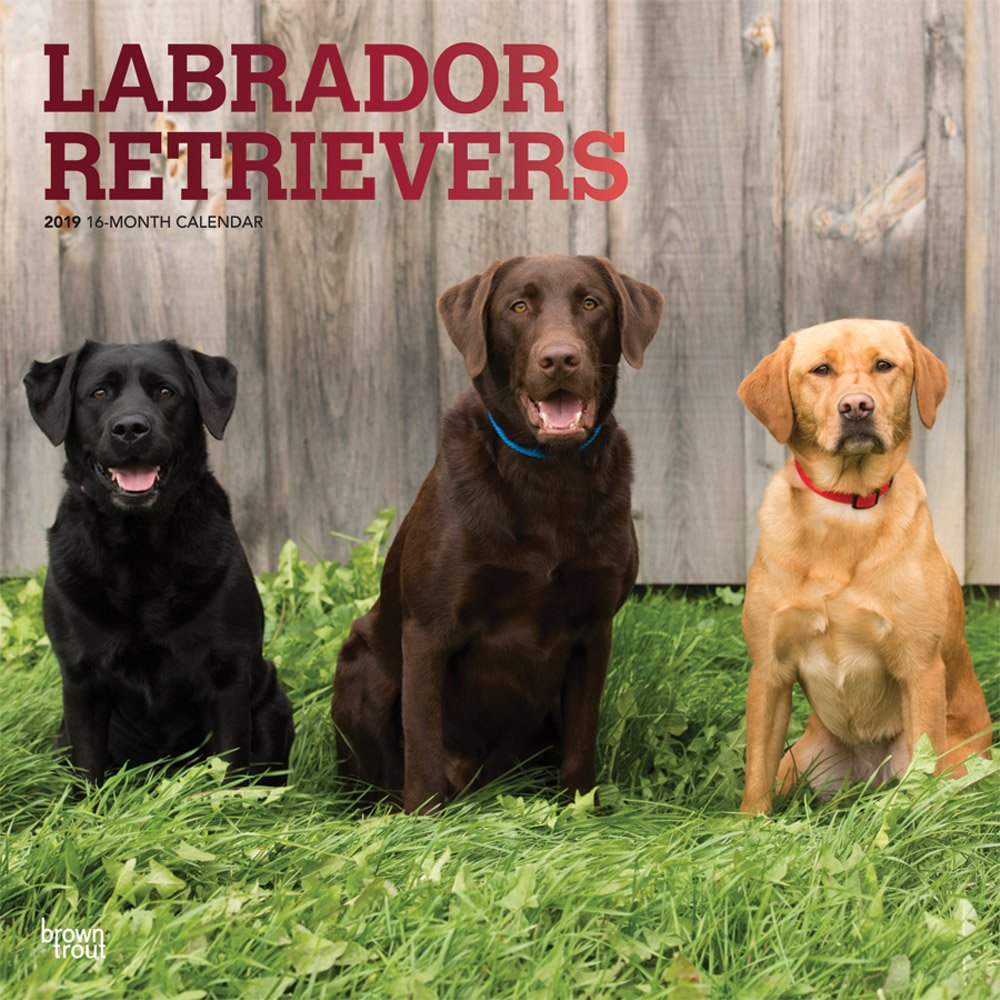 Labrador Retrievers 2019 Square Wall Calendar Calendar – Wall Calendar, 1 Sep 2018 BrownTrout 1465099727 Animal Care Pets