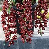 Ncient 50 Semi Sementi di Orchidea Cymbidium Orchid Semi di Fiori Rari Piante Profumati per Orto Giardino Balcone Interni ed Esterni Decorazione della Finestra