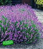 BALDUR-Garten Winterharte Stauden Lavendel-Hecke 'Blau', 9 Pflanzen Lavandula angustifolia Munstead