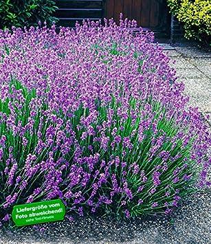 BALDUR Garten Winterharte Stauden Lavendel Hecke U0027Blauu0027 Duftlavendel, 9  Pflanzen Lavandula