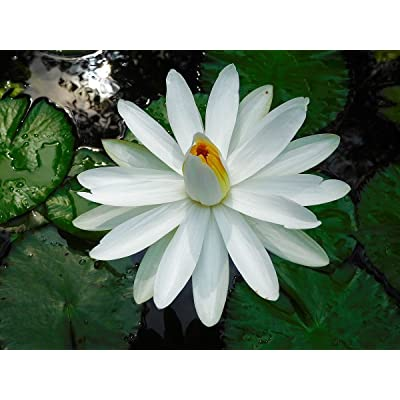 Nymphaea pubescens WHITE WATER LILY Seeds : Garden & Outdoor
