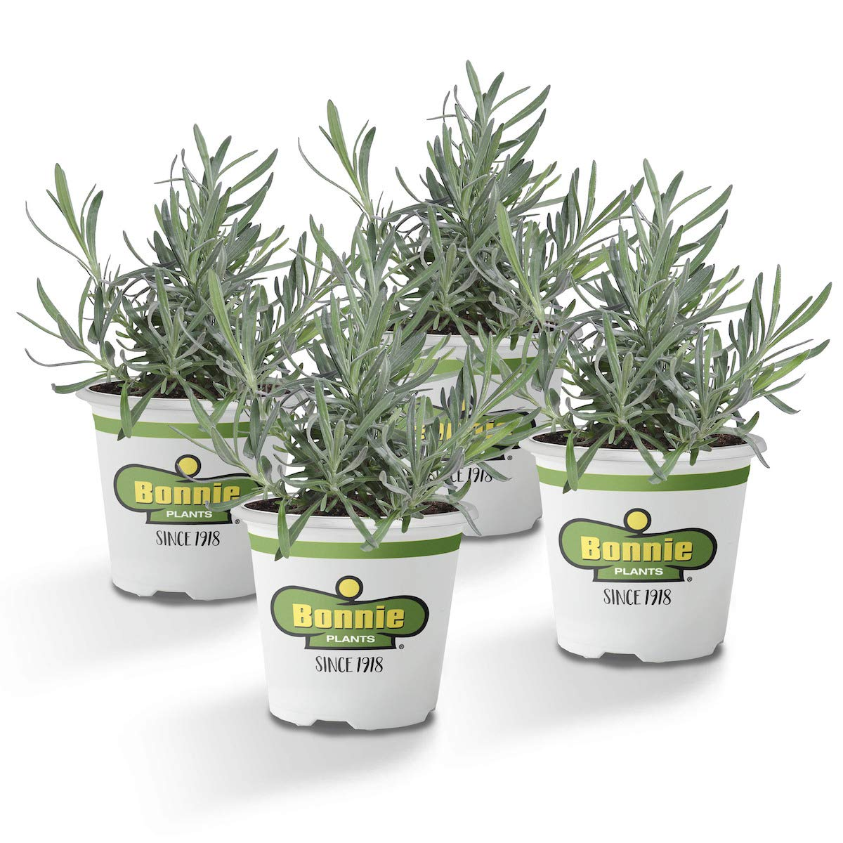 Bonnie Plants Lavender Live Edible Aromatic Herb Plant - 4 Pack | 12 - 14 in. Tall Plant | Baking, Teas, Sugars, Jellies