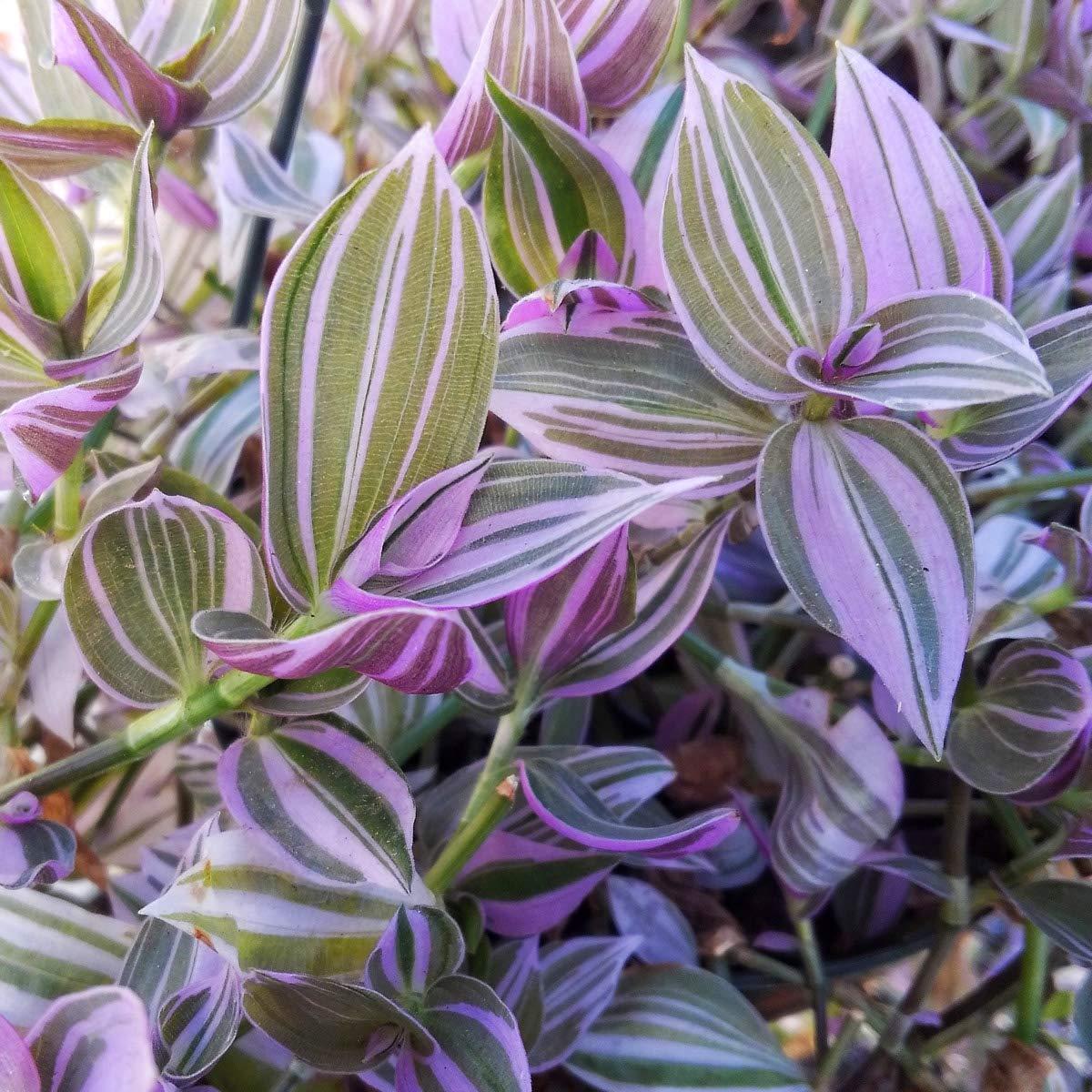 Plant 10PCS Wandering Jew Lilac Tradescantia Fluminensis Lilac ...
