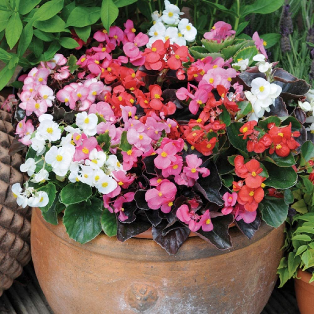 200 Begonia Seeds Pelleted Begonia Seeds Hot Tip Mix Seeds  BULK SEEDS