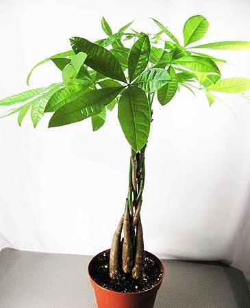 Amazon.com: 9GreenBox - 5 Money Tree Plants Braided into 1 Tree ...