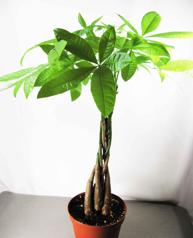 5 Money Tree Plants Braided into 1 Tree