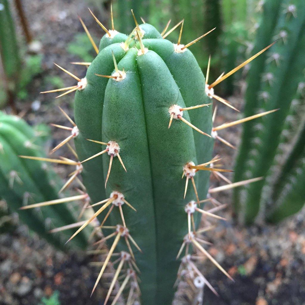100 graines de Trichocereus peruvianum, Asklepios-seeds/®