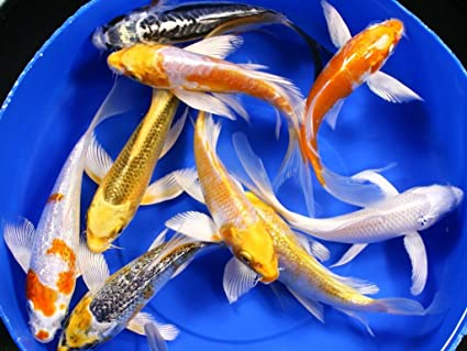 amazon com butterfly koi fish assorted colors a grade quality 3