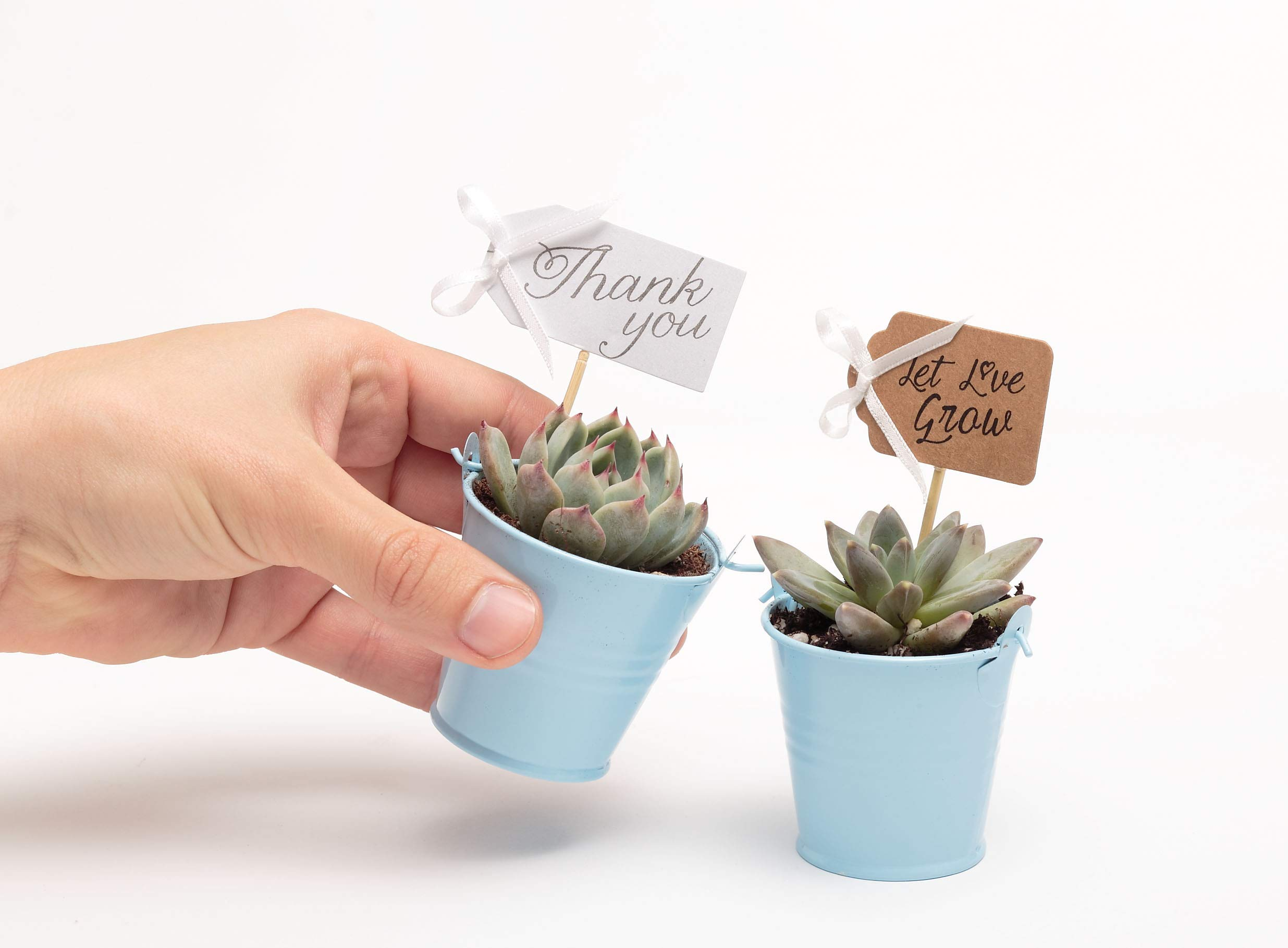 2 in. Wedding Event Rosette Succulents with Blue Metal Pails and Thank You Tags (30) by Succulent Source (Image #3)