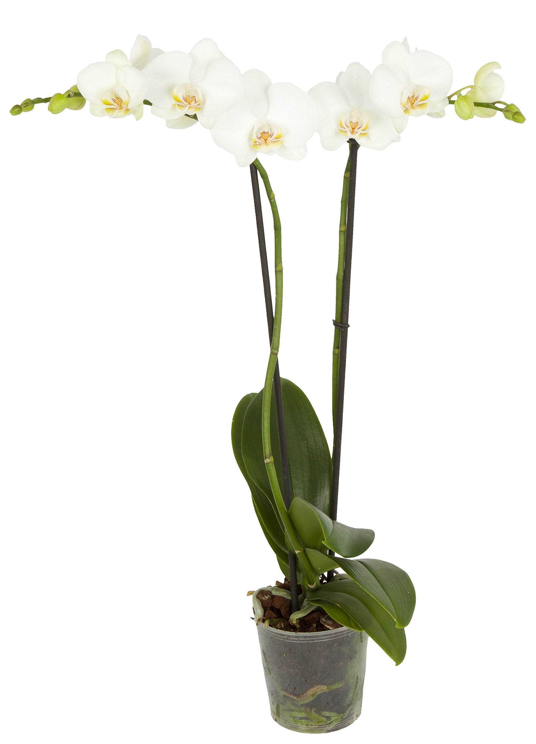 Color Orchids Live Blooming Double Stem Orchid In Grow Pot,, 20-24'' Tall, White Blooms by Color Orchids