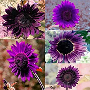 Daisy Garden 100Pcs Rare Purple Sunflower Seeds Beautiful Flower Home Garden Ornament