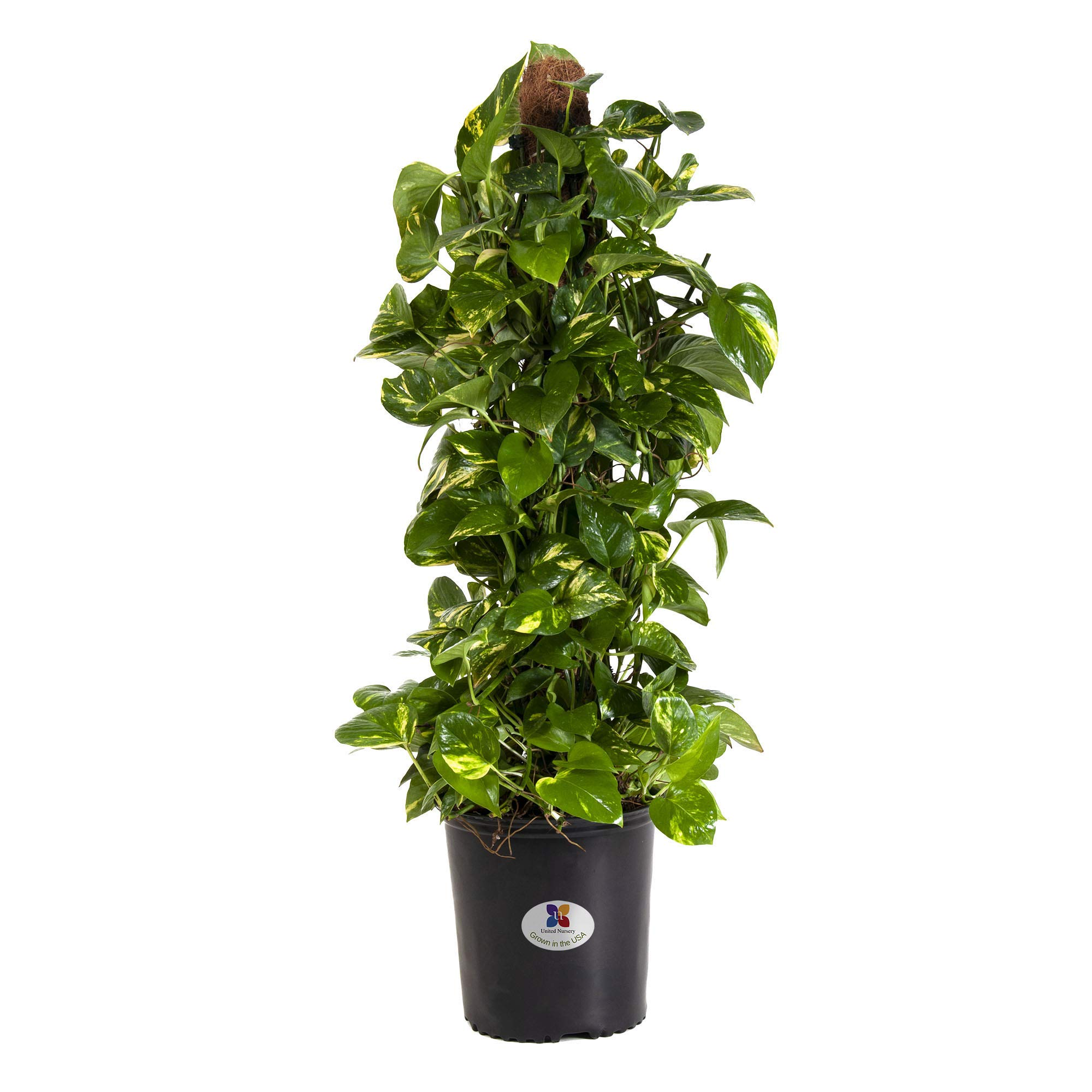 United Nursery Golden Pothos Totem Live Indoor Air Plant. 38'' Shipping Size. Shipped Fresh in Grower Pot from Our Florida Farm