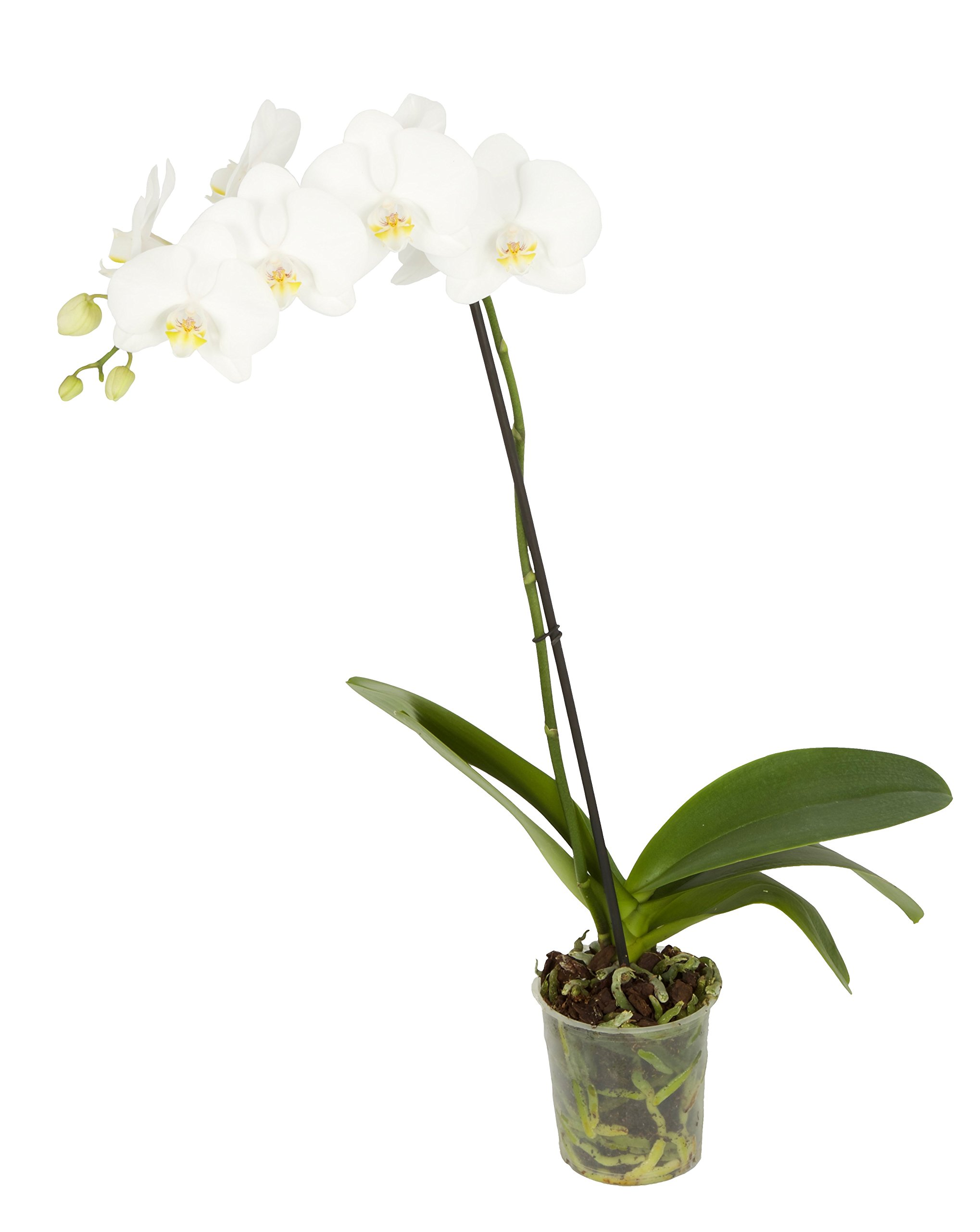 Color Orchids Live Blooming Single Stem Phalaenopsis Orchid Plant in Grow Pot, 20'' x 24'' Tall, White Blooms