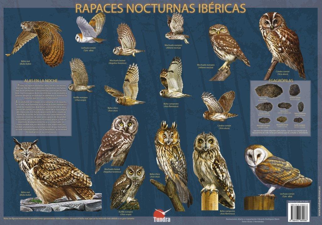 Poster. Rapaces nocturnas ibéricas: Amazon.es: Aa.Vv: Libros