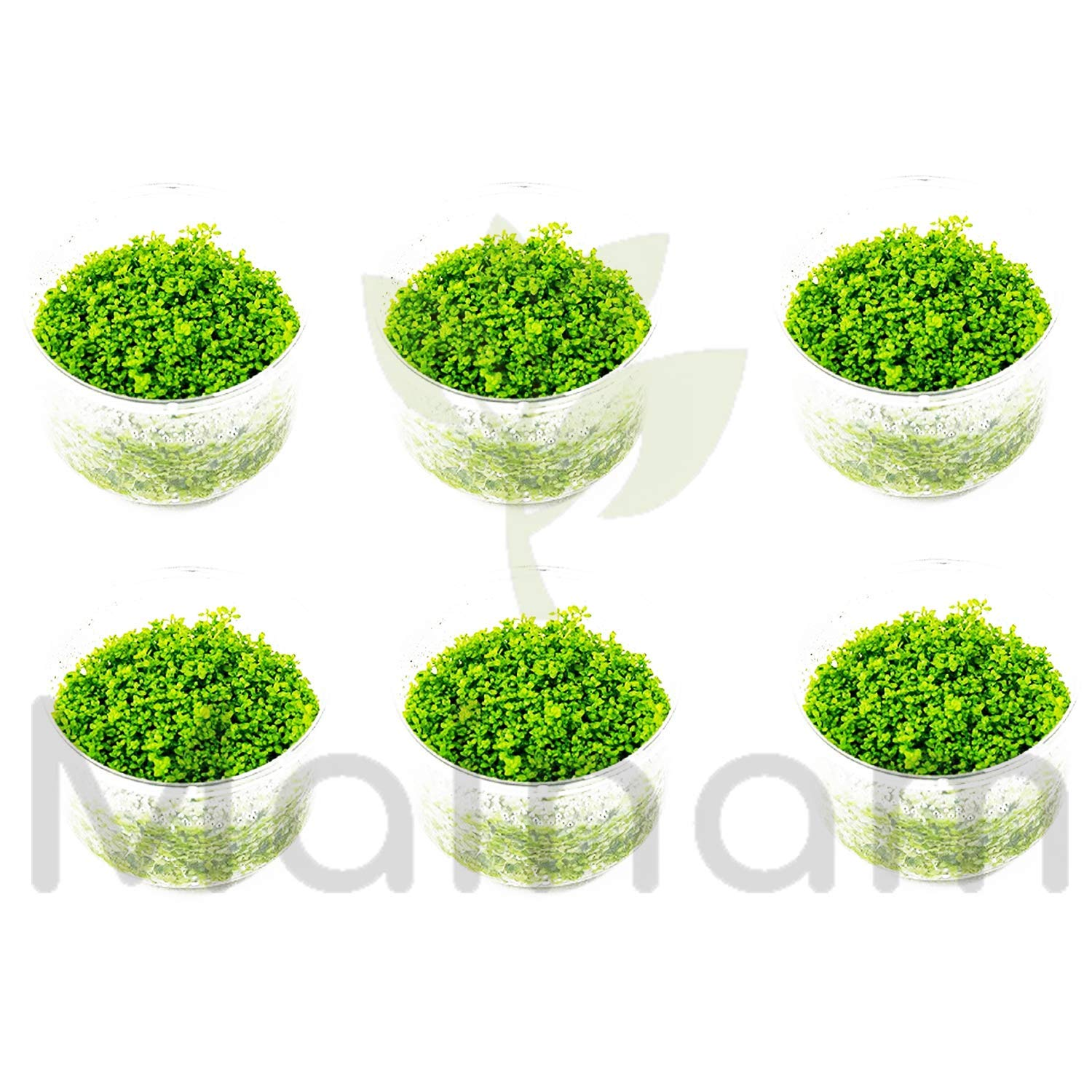 Mainam (6 Cup) Dwarf Baby Tears Carpet Live Aquarium Plants Tissue Culture for Freshwater Aquatic Plant Tank by Mainam