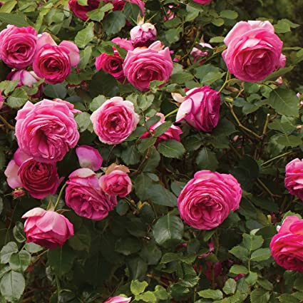 Amazon pretty in pink eden climbing rose bush reblooming pretty in pink eden climbing rose bush reblooming fragrant pink hardy climber plant grown organic 4quot mightylinksfo