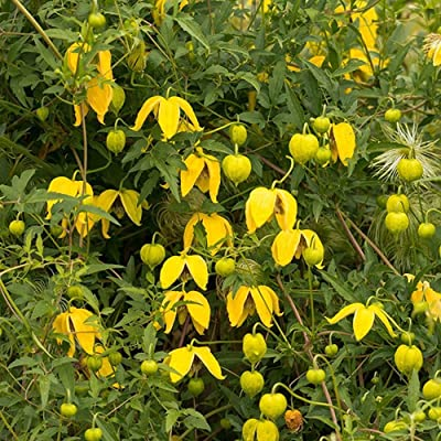 GOLDEN CLEMATIS TANGUTICA, Radar love seeds : Garden & Outdoor