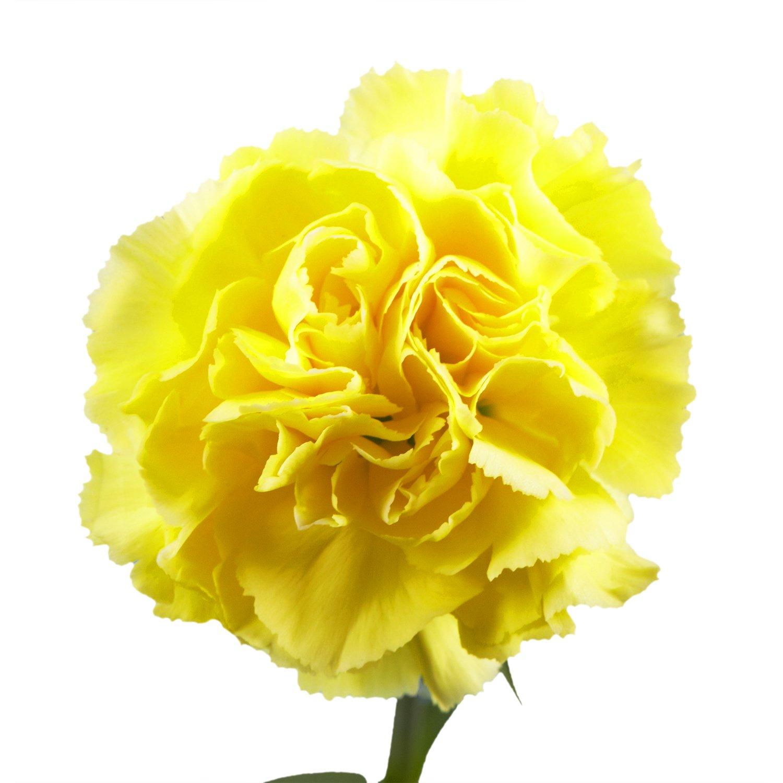 Amazon Globalrose Best Yellow Carnations 100 Yellow