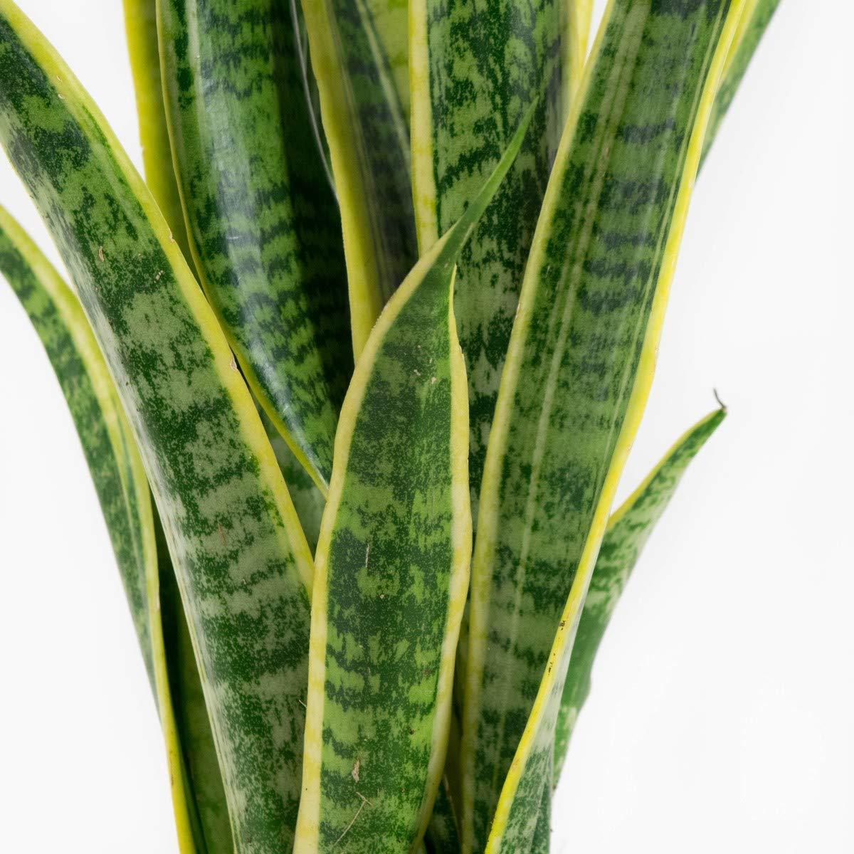 Indoor-Helden Sanseveria laurentii Topf-/Ø: 12 cm Bogenhanf im 3er Set Bogenhanf luftreinigende Zimmerpflanze H/öhe: 30 cm