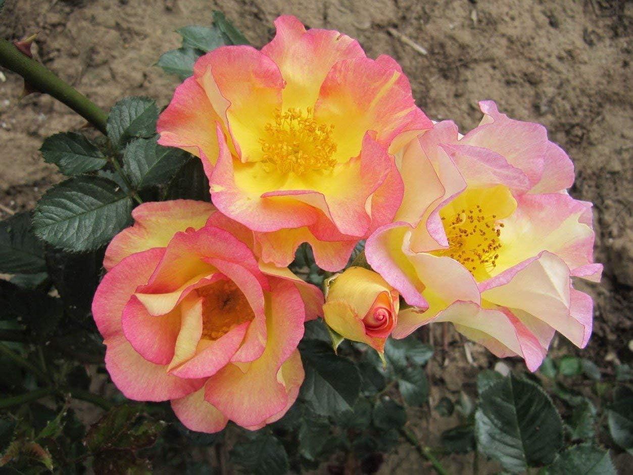 Shop Meeko Jardín perfumado - Jardín de arbustos a raíz Desnuda Rose - Muestra de Barrido Hermosas de inusuales Rosadas y amarillentas Blooms - Fragranceplant Fuerte: Amazon.es: Jardín