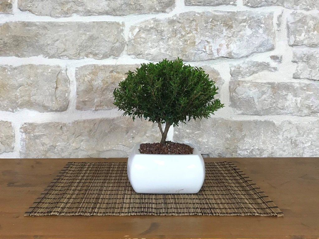 Bonsai di Mirto in vaso quadro bianco Pollice Verde