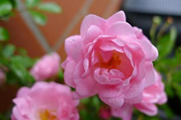 Bodendecker Winterhart Mehrjährig Bodendecker Rosen Rosa The Fairy