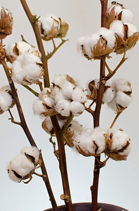Portal Cool 3 Ramas: Ramas de algodón.Echte algodón con 10 + Flores secas 80-85cm +/-: Amazon.es: Hogar