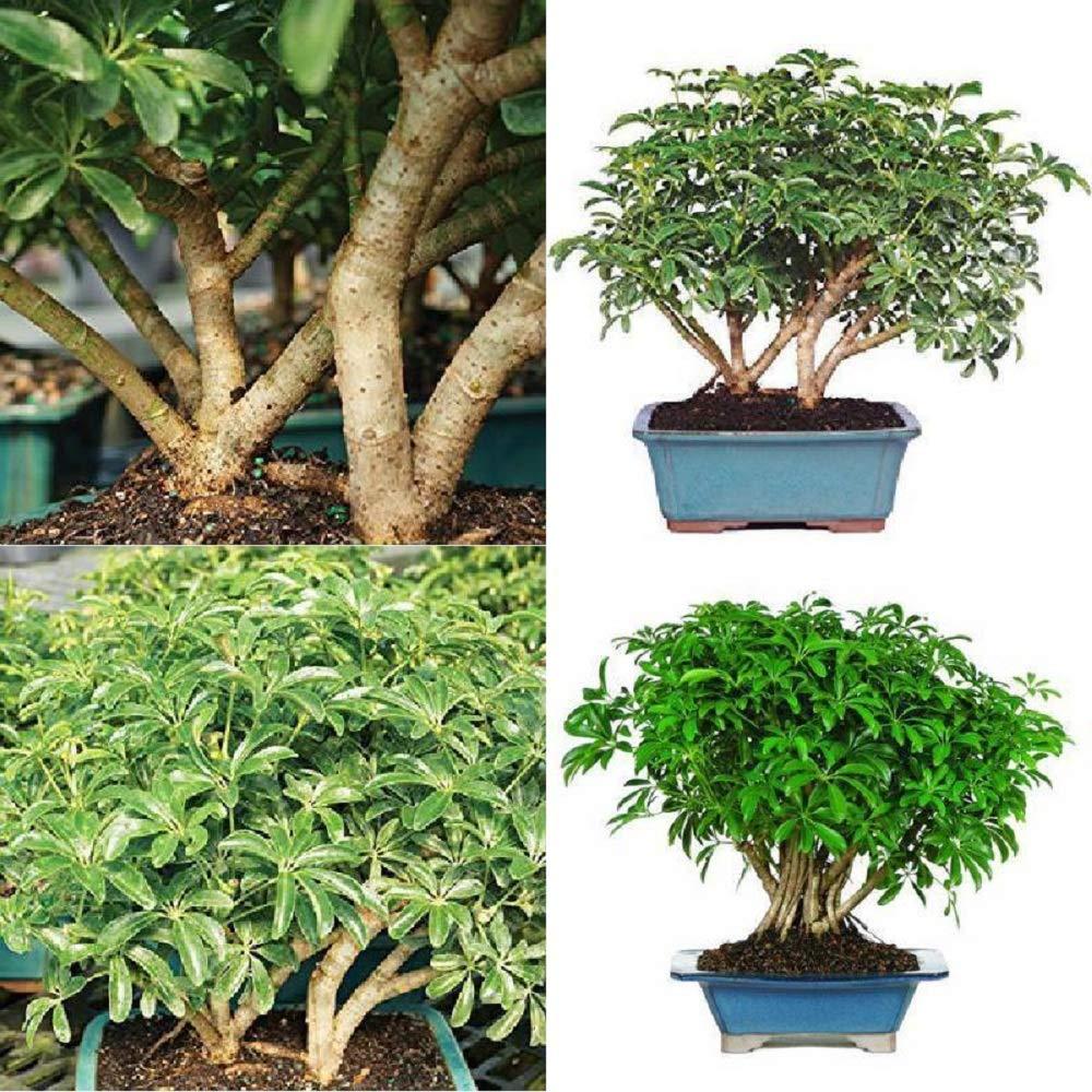 Hawaiian Umbrella Tree Bonsai Dwarf Live Plant Tropical 8 Years Indoor Best Gift Plant A6