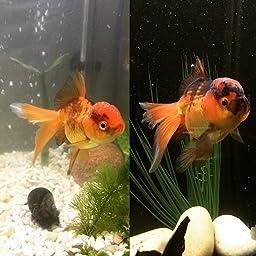 Amazon Com Hikari Usa Inc Ahk42553 Saki Goldfish 7 0