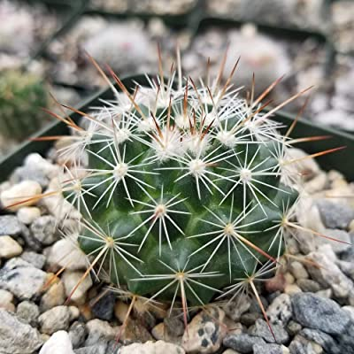 Mammilaria Rubrograndis, Nipple Cactus Plant - 3.5 inch Pot (2 Plants) : Garden & Outdoor