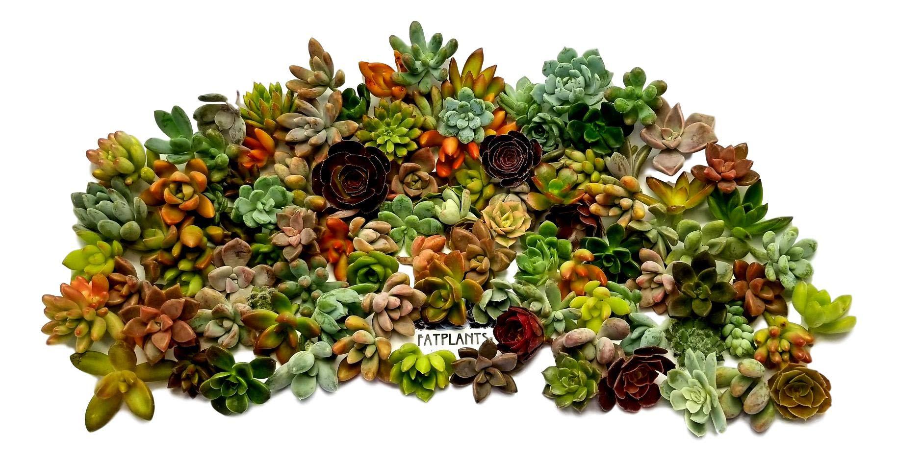 Fat Plants San Diego Miniature Rosette Succulent Cuttings (100) by Fat Plants San Diego (Image #1)