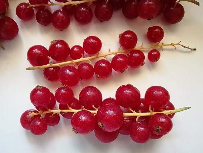 ScoutSeed Grosella roja X 50 SEMILLAS ribes rubrum o uva de señora:  Amazon.co.uk: Grocery