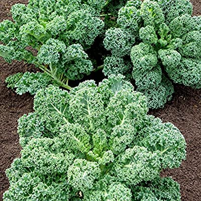 Curly Kale Seeds (100+ seeds) - Vates Blue Scotch Curled KALE - USA Grown Non-GMO: Grocery & Gourmet Food
