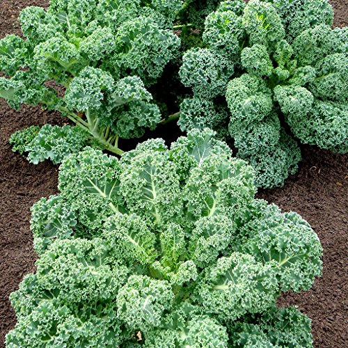 Curled Scotch (Curly Kale Seeds - Blue Scotch Curled Leaf KALE - USA Grown)