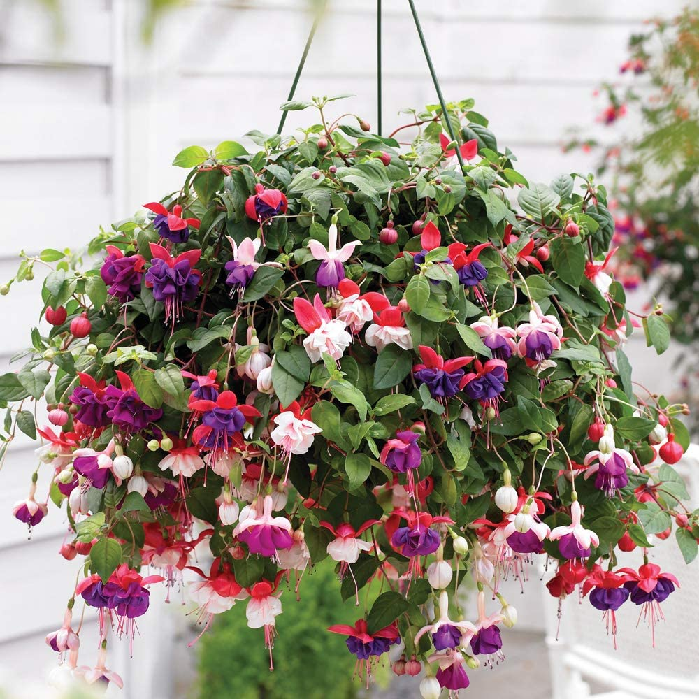 Fuchsia Trailing 20cm Pre Planted Garden Flowers Hanging Basket X 2 By Thompson And Morgan 2 Amazon Co Uk Garden Outdoors