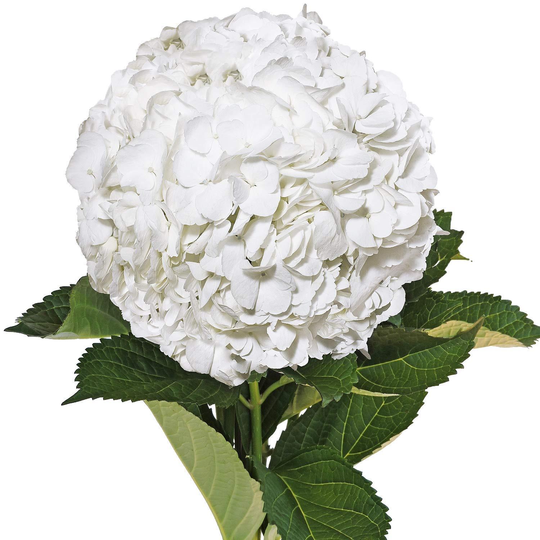 Farm Fresh Natural Jumbo White Hydrangeas - Pack 12 by Bloomingmore