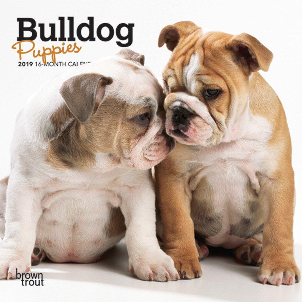 Amazon com: Bulldog Puppies 2019 7 x 7 Inch Monthly Mini Wall