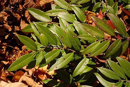 Leucothoe axillaris COAST LEUCOTHOE Seeds!