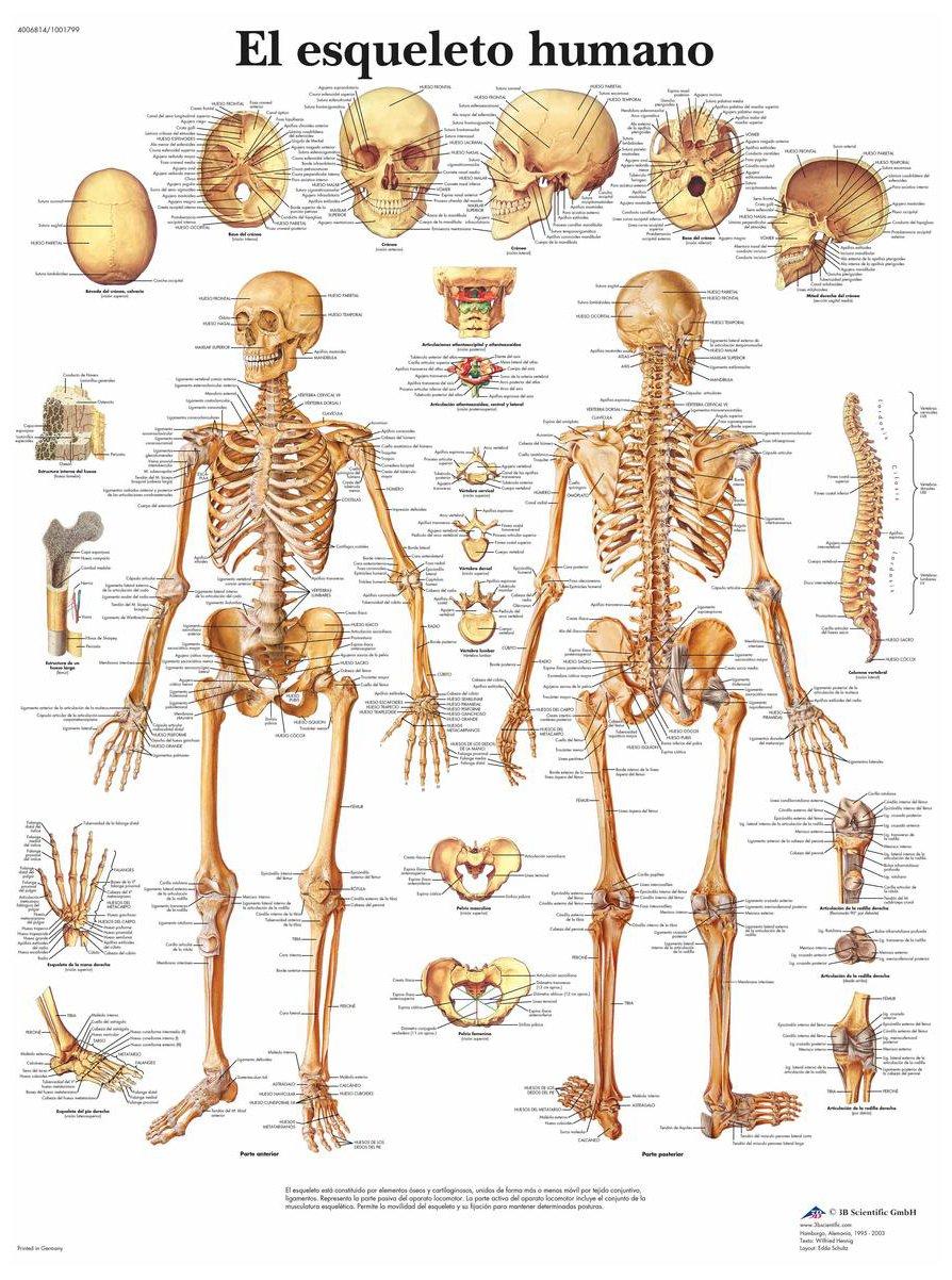 3B Scientific VR3113L Impreso En Papel, el Esqueleto Humano: Amazon ...