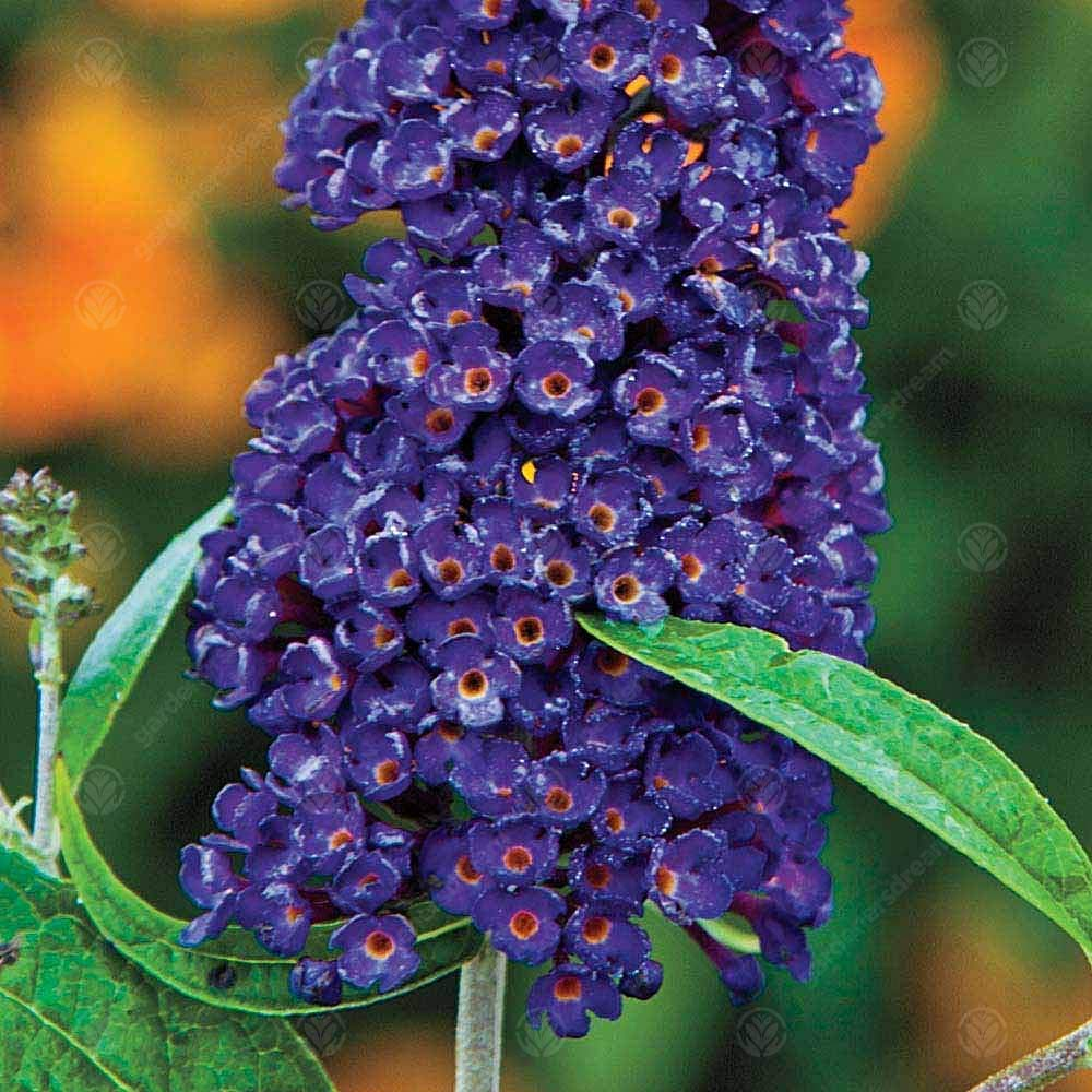 9cm Pot Buddleia davidii Black Knight Butterfly Bush Deciduous Hardy Shrub