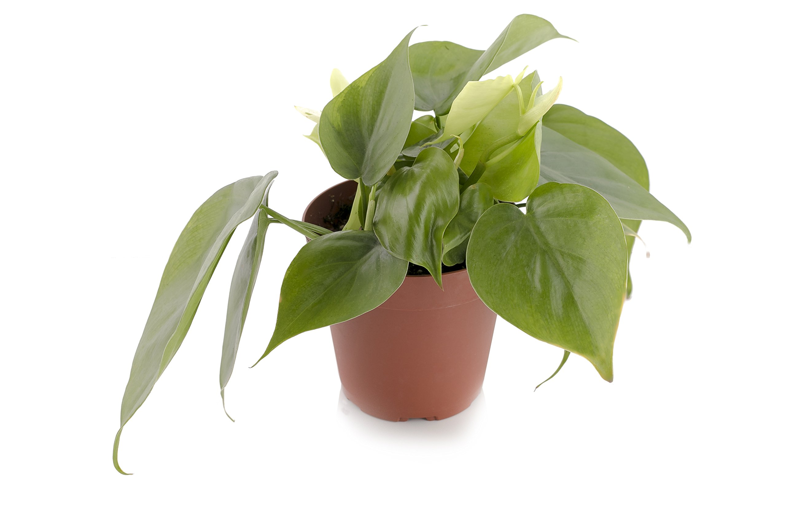 Set of 4 Indoor Plants - Live Potted Plants for Your Home or Office - Includes Red Aglaonema, Snake Plant, Philodendron, and Peace Lily - Great for Interior Decorating and Cleaning the Air by BDWS (Image #2)