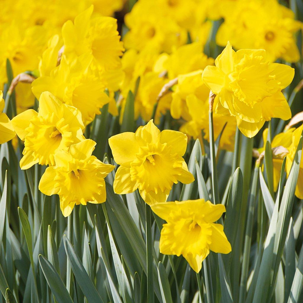 Van Zyverden Daffodils Colossal Yellow Trumpet Bulbs Set of 100 Mammoth Bulbs