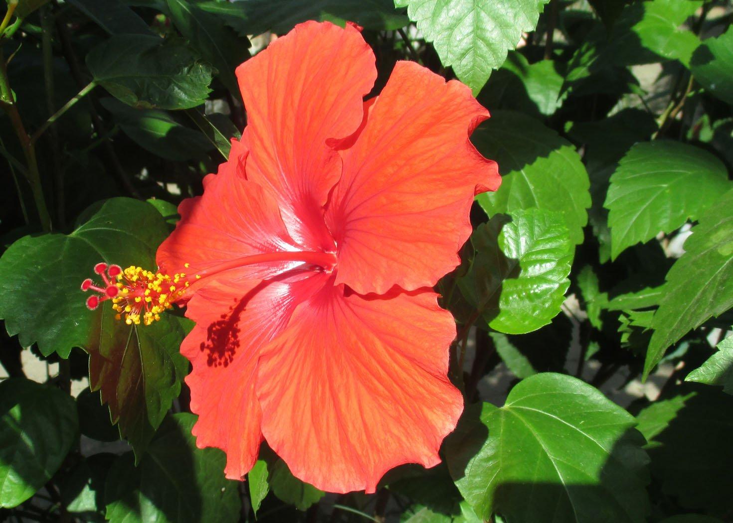 Hawaiian hibiscus is a genus of flowering plants . (English ...