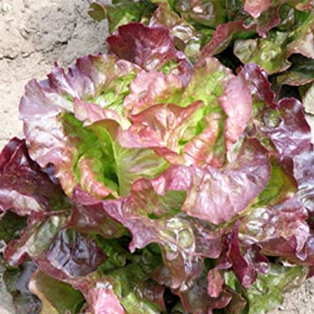 Schönes Salat Set 2250 Samen 9 Arten
